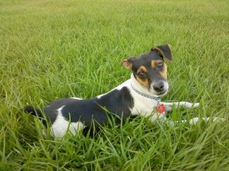Photo of a puppy belonging to the Rat Terrier breed of dogs